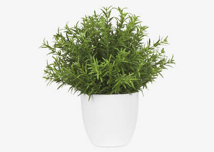 Leesa Rosemary Potted