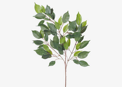 Branche de ficus Wilda