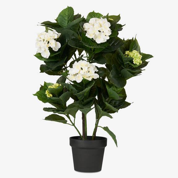 Shae Hydrangea Potted Plant