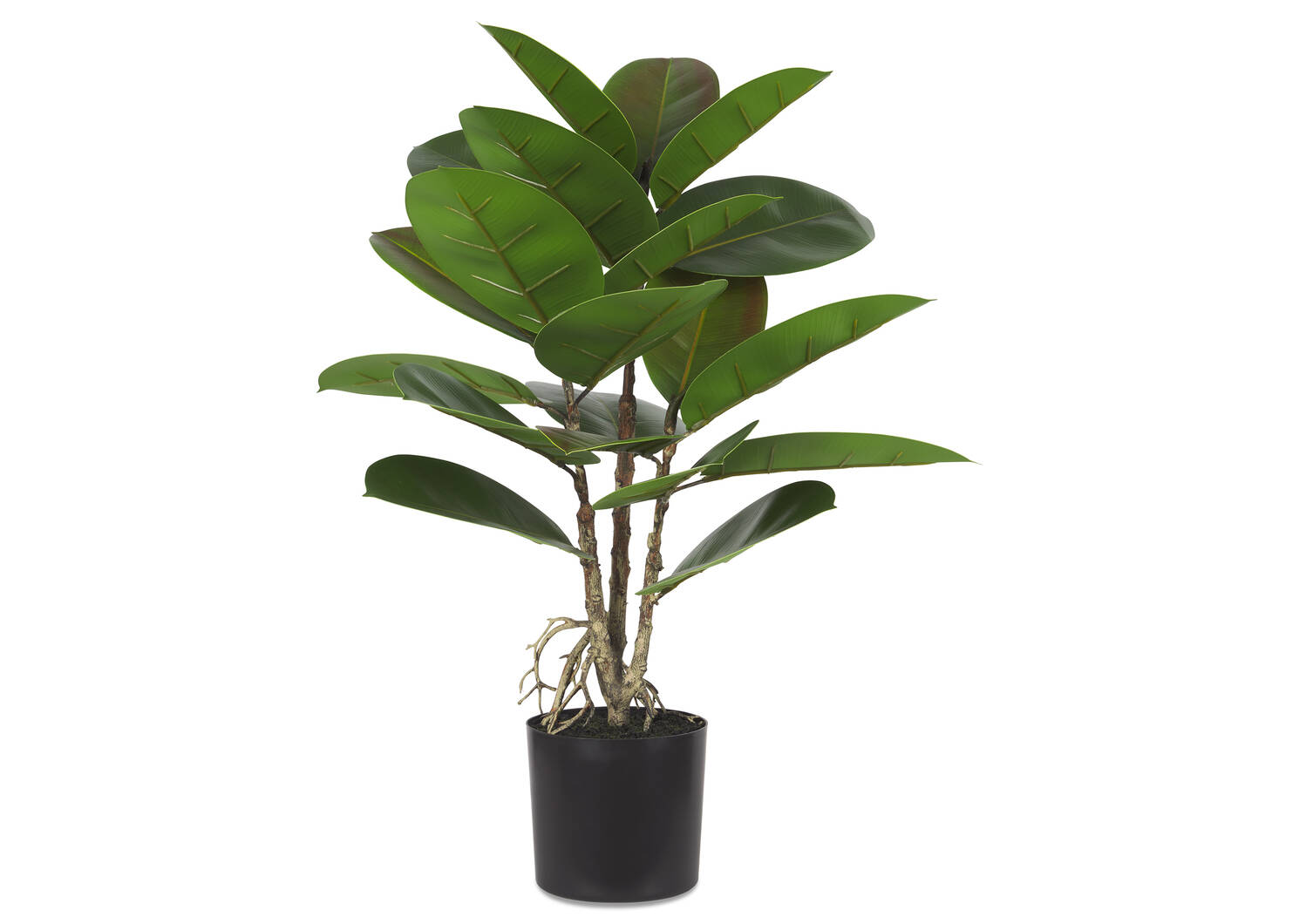 Faye Rubber Plant Potted