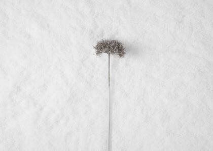 Snow Allium Stem