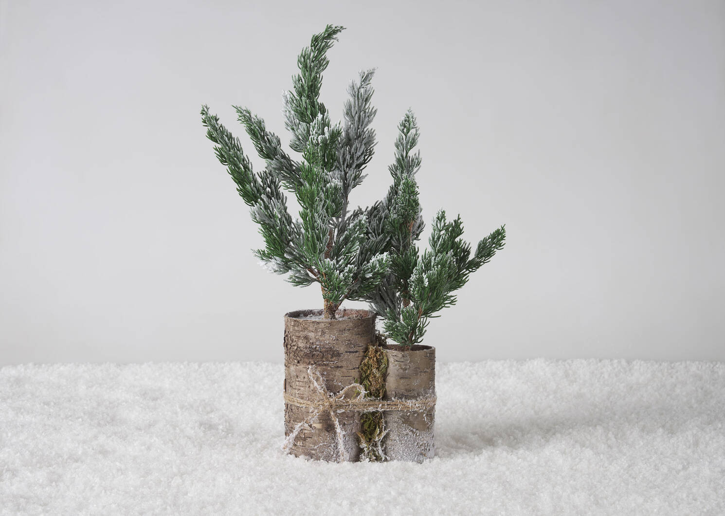 Wynter Fir Trees Potted