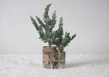 Sapins en pot Wynter