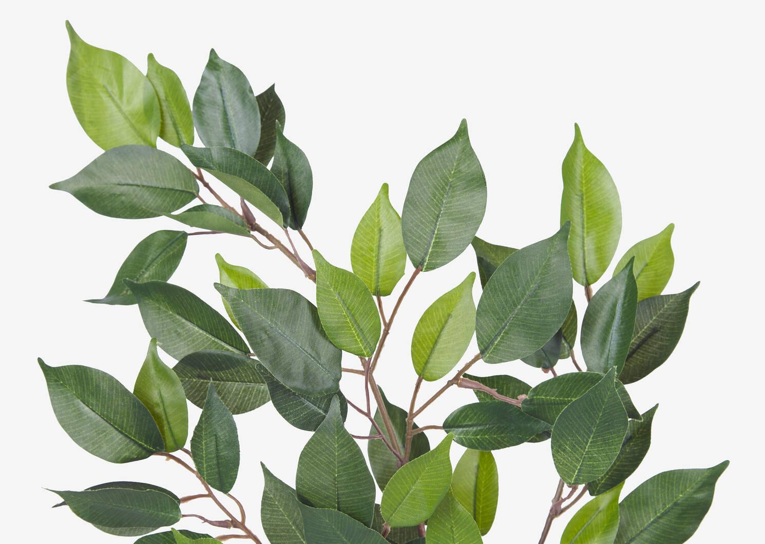 Wilda Ficus Branch