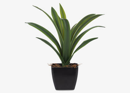 Colm Dracaena Plant Potted