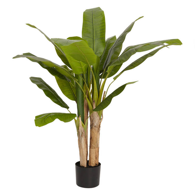Raye Banana Tree Potted