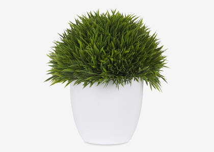 Sena Grass Potted