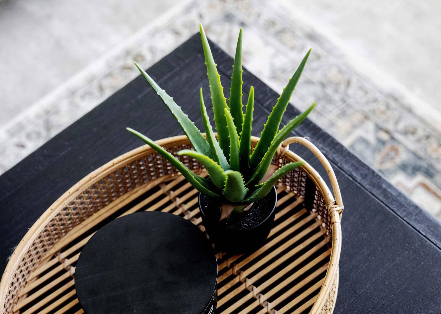 Kani Aloe Plant Potted