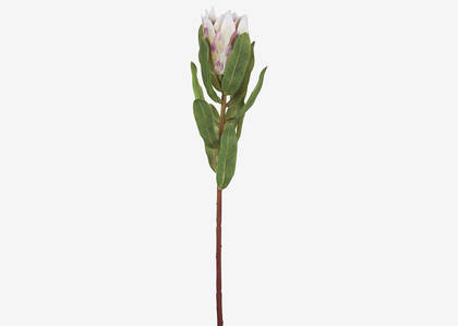 Tige de protea Avelina coquille