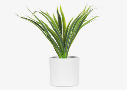 Kaori Spider Plant Potted