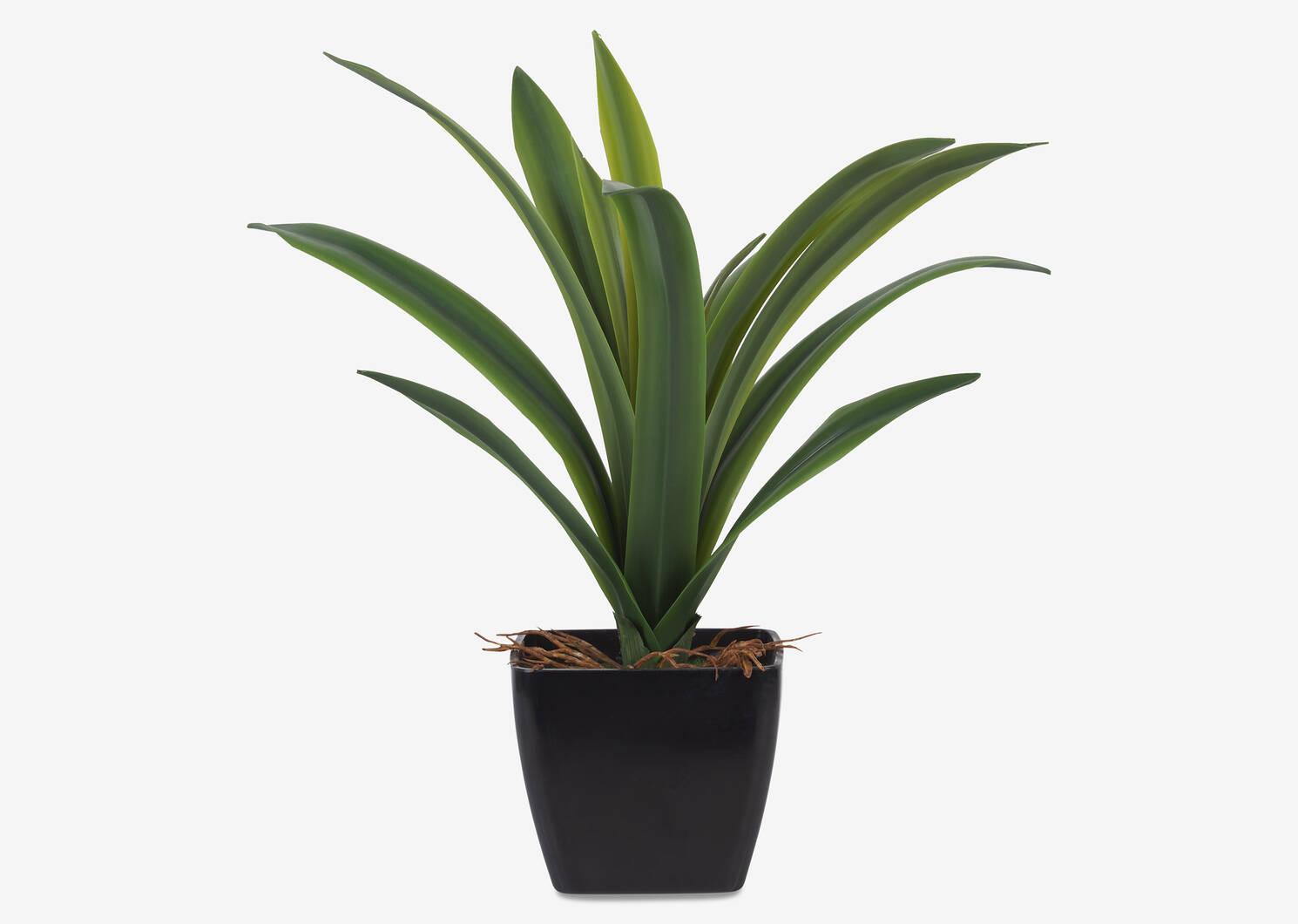 Colm Dracaena Plant Potted