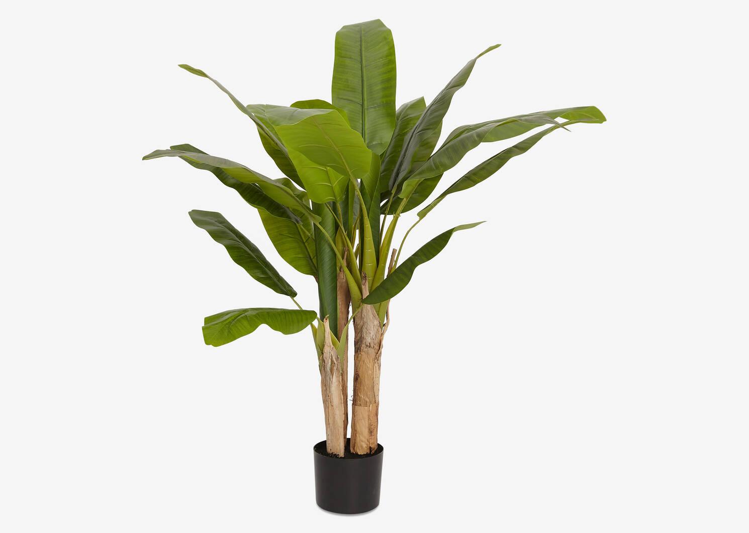 Raye Banana Tree Potted
