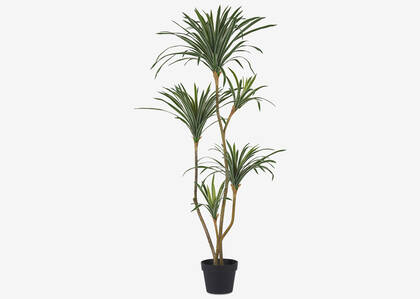 Colm Dracaena Tree Potted