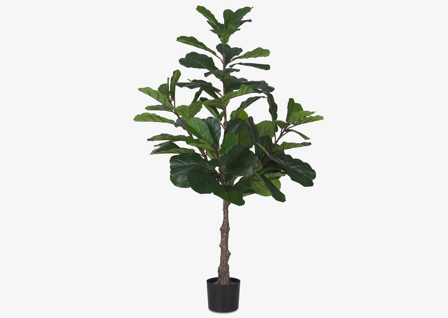 Kani Fiddle Tree Potted
