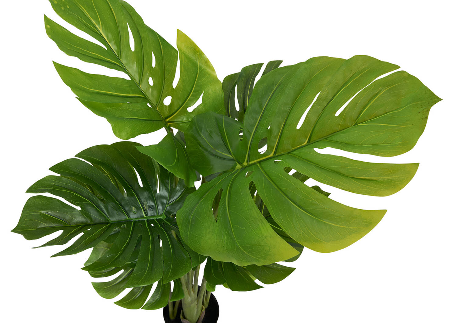 Keilani Monstera Potted Plant