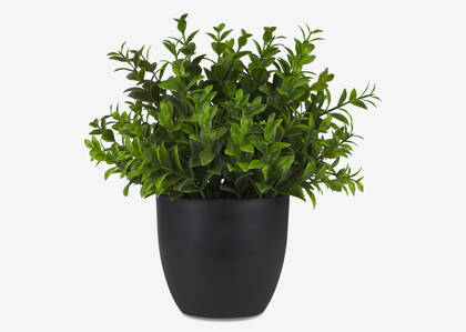 Sena Boxwood Potted